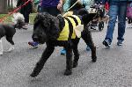 Black dog with bee costume